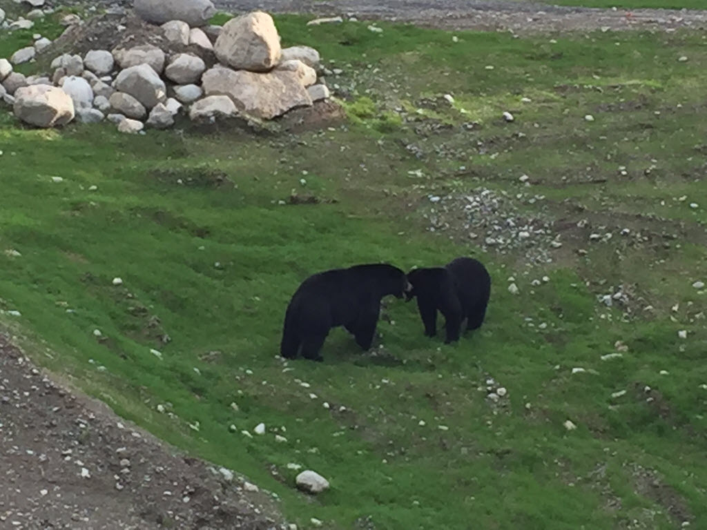 2 bears playing in Whistler
